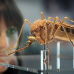 Insect genetically modified